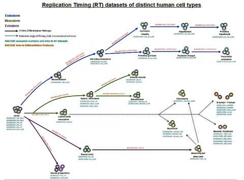 인체 세포 유형에 따른 복제 타이밍 데이터세트. CREDIT : The Gilbert Lab / FSU