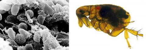 페스트균에 감염돼 장내에 검은색 덩어리가 보이는 동양 쥐벼룩 모습(오른쪽). 사진 왼쪽은 쥐벼룩의 위장 앞부분에 페스트균 덩어리가 몰려 있는 모습을 주사전자현미경으로 찍은 사진. 쥐벼룩이 감염되지 않은 사람이나 동물들을 물어서 피를 빨려고 할 때 페스트균이 상처로 역류돼 감염을 일으킨다.  CREDIT : Wikimedia Commons