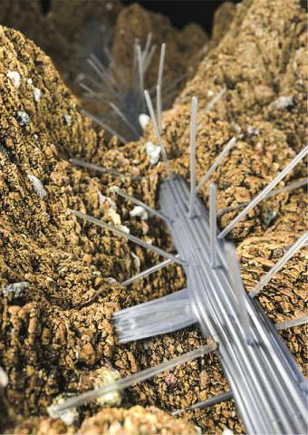 애기 장대(Arabidopsis thaliana) 뿌리가 수분이 있는 토양을 향해 우선적으로 가지를 뻗고 있는 모습.  CREDIT : Daniel von Wangenheim