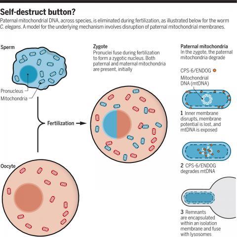 지난 2016년 예쁜꼬마선충의 수정란의 세포질에서 부계 미토콘드리아만 선별적으로 파괴되는 현상을 설명하는 메커니즘이 규명됐다. 예쁜꼬마선충의 정자는 아메바처럼 생겨 세포질에 미토콘드리아가 꽤 있다(왼쪽 위). 그러나 수정이 일어난 뒤 부계 미토콘드리아의 내막이 사라지면서 묶여있던 단백질(CPS-6/ENDOG)이 게놈을 파괴해 결국 미토콘드리아가 제거된다(오른쪽).  ⓒ 사이언스