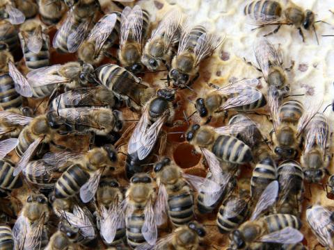 여왕벌이 먹는 로열젤리 안의 로열탁틴 성분을 모방해 손상된 세포를 치료하려는 시도가 과학자들을 통해 진행되고 있다. 성공할 경우 알츠하이머, 심부전과 같은 난치병 치료가 가능해진다.  ⓒWikipedia