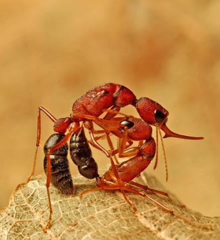 사회생활을 하고 있는 것 같은 개미들이 집단적인 기억을 축적하고 있다는 연구 결과가 발표되고 있다. 사진은 싸움 중인 뜀개미.  ⓒWikipedia