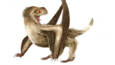 영국 브리스톨 대학과 중국 난징 대학의 공동 연구팀이 1억6000만년 전 살았던 2마리의 익룡 화석을 통해 밝혀낸 익룡의 가상도. 익룡의 피부 위를 다수의 깃털이  뒤덮고 있다. 깃털이 뒤늦게 생겨났다는 이전의 가설을 뒤집는 것이다.   ⓒ  Yuan Zhang/Nature Ecology & Evolution
