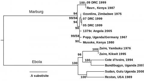 에볼라 바이러스와 마르부르크 바이러스의 전장유전체를 베이즈(Bayes) 분석으로 비교한 계통발생 나무. 이번에 새로 발견된 멩글라 바이러스는 진화 계통상 두 바이러스 사이에 위치하는 것으로 확인됐다.  CREDIT : Wikimedia Commons / ChyranandChloe & Rewrite: Fred the Oyster