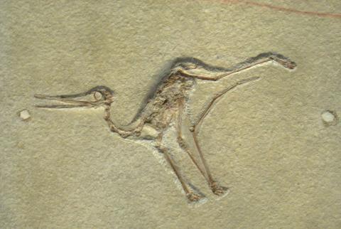익룡의 깃털 단백질 성분이 새롭게 변화하면서 비행 능력이 향상됐다는 연구 결과가 발표됐다. 사진은 미국 피츠버그 자연사박물과에 소장된 시조해 화석. ⓒWikipedia