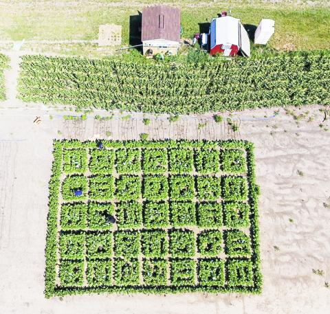 광호흡 경로를 개조한 식물과 그렇지 않은 식물을 현장에서 재배하는 모습을 비교하기 위해공중에서 촬영했다.  Credit: James Baltz/College of Agricultural, Consumer and Environmental Sciences