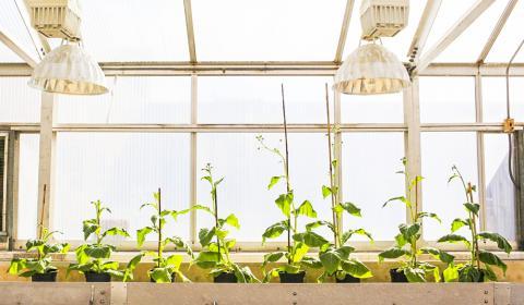 식물에서 광호흡은 에너지 소비가 많아 작물 수확량을 떨어뜨린다. 광호흡을 우회하는 대체 경로로 설계된 네 개의 식물(오른쪽) 옆에 조작을 가하지 않은 네 개 식물(왼쪽)이 자라고 있다. 개조된 식물은 소비되는 에너지와 자원을 재투입할 수 있어 생산성을 40% 향상시킬 수 있다.  Credit: Claire Benjamin/RIPE Project