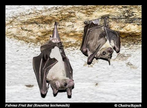 인도 타밀나두 마두라이 소재 사원에 서식하는 과일 박쥐의 한 종류(Rousettus leschenaultii). 전세계 도처에서는 박쥐에서 유래한 바이러스들이 인간과 동물의 건강에 위협이 되고 있다.  CREDIT : Rajesh Puttaswamaiah, Bat Conservation India Trust