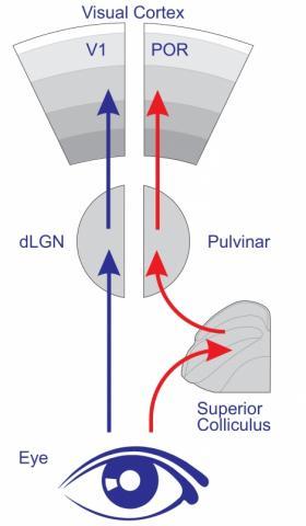 생쥐 뇌의 시각영역인 V1과  POR CREDIT Scanziani lab / UCSF