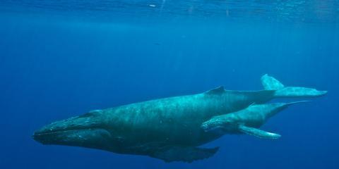 새끼와 함께 헤엄치는 혹등고래 ⓒ Pixabay