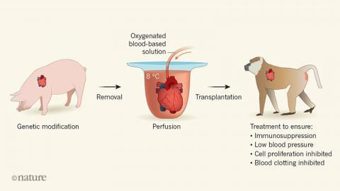 최근까지 실험에서 돼지 심장을 받은 원숭이가 얼마 못 가 죽는 이유가 수술 전후 심장을 보관하는 데 있었다는 사실이 밝혀졌다. 떼어낸 돼지 심장을 혈액을 모방한 액체에 넣고 액체를 순환시키자 이 문제가 해결됐다.  ⓒ 네이처