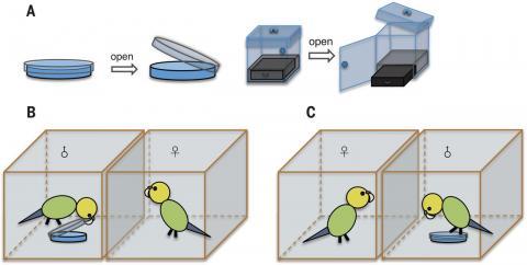 암컷의 선택을 받지 못한 수컷에게만 패트리접시(위 왼쪽)이나 투명상자(위 오른쪽) 안에 들어 있는 먹이를 꺼내 먹을 수 있는 기술을 습득시킨다.  자신이 외면했던 수컷은 먹이를 꺼내 먹는 반면(아래 왼쪽) 선택했던 수컷은 실패하는 걸(아래 오른쪽) 지켜본 암컷은 마음을 바꾼다.  ⓒ 사이언스