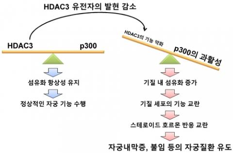 HDAC3 유전자 발현 감소에 따른 자궁질환 발병 모식도 ⓒ 한국연구재단 제공