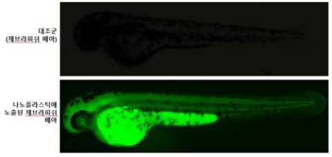 수정 후 48시간 된 제브라피쉬 배아 형광 현미경 사진 ⓒ 한국생명공학연구원 제공