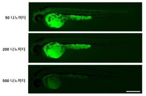 나노플라스틱에 노출된 제브라피쉬 배아 현미경 사진. 크기가 작을수록 체내 흡수가 더 많이 일어났다. ⓒ 한국생명공학연구원 제공
