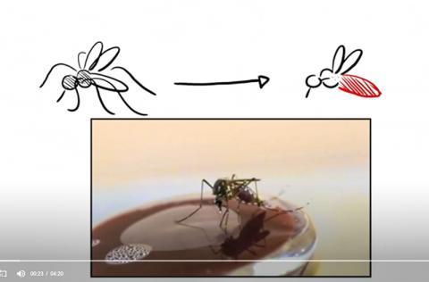 실험실에서 배양접시에 있는 피를 빨아먹는 모기. 피에는 알을 성장시키는데 필요한 단백질과 철분이 풍부하게 들어있다.  CREDIT: Duvall et al./Cell
