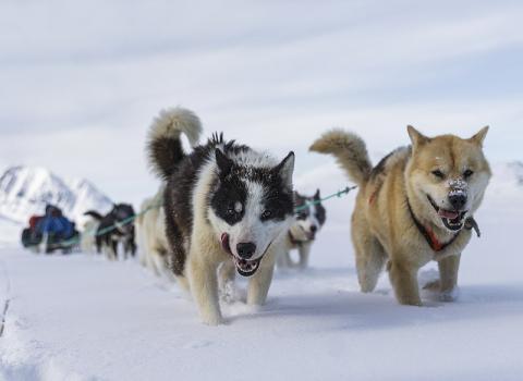 당시 북극 고대인들을 개썰매를 이용해 원거리까지 여행할 수 있었다. 사진은 동그린란드 썰매개. CREDIT: Wikimedia Commons /