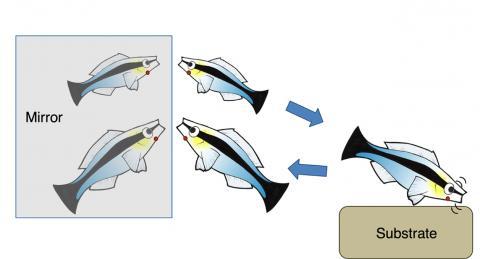 몸에 붉은 점이 찍힌 것을 본 물고기는 딱딱한 물체에 몸을 부벼 점을 지우려 한다. Credit: Alex Jordan