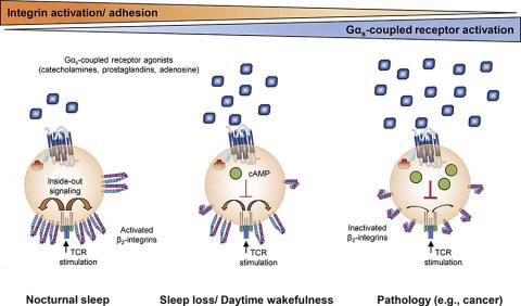 면역 T세포에 대한 Gαs-결합 수용체 작용제의 효과가 수면 혹은 질병에 의해 어떻게 영향을 받을 수 있는지를 보여주는 그림.  CREDIT: Dimitrov et al., 2019