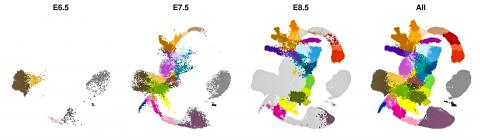 배아가 수정된 후 6.5~8.5일 사이의 48시간 동안에 세포들이 특정 신체기관 형성을 위해 분화돼 가는 모습. 각 점은 단일세포를 표시하며, 심장, 폐, 뇌 및 내장과 같은 주요 세포 유형에는 채색을 했다.   CREDIT: Wellcome-MRC Cambridge Stem Cell Institute