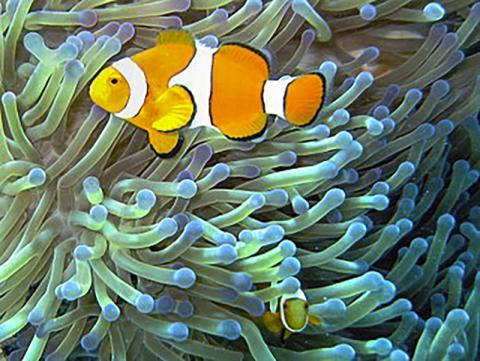 청소 공생관계에서 클론 피시는 바다 아네모네에 해를 끼칠 수 있는 작은 무척추동물을 먹고, 클론 피시의 배설물은 바다 아네모네의 영양분이 된다. 또 바다 아네모네의 침은 다른 포식자들로부터 클론 피시를 보호해 준다. 과학자들은 장내 미생물군과 인체의 관계가 단순한 공생관계를 넘어 상부상조적인 관계라고 보고 있다.  Credit: Wikimedia Commons / Jan Derk
