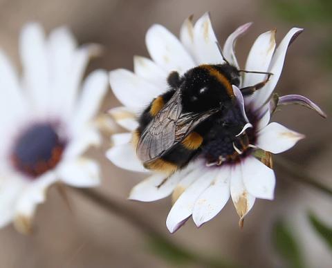 최근 영국 등에서 발표된 73건의 곤충 관련 중요한 논문들을 포괄적으로 분석한 결과 지구 곳곳에서 다수의 곤충이 멸종하고 있 ⓒWikipedia