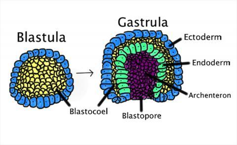 장배 형성 진행과정 모습. 장배 형성은 한 층으로 구성된 포배(blastula)가 안쪽으로 접히고 원장배(gastrula)를 만들기 위해 확대될 때 일어난다. 원장배는 외배엽과 중배엽 및 내배엽 등 세 개의 배아기관 층을 가지고 있다.  ⓒ Wikimedia Commons / Abigail Pyne