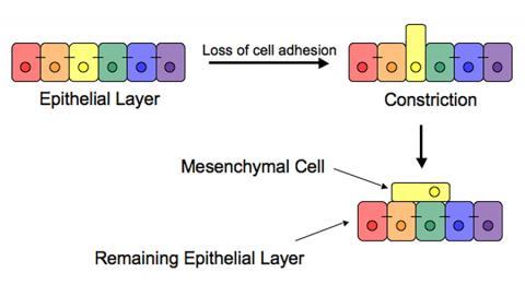 장배 형성 과정에서 상피층의 중배엽 세포로의 전이. 세포 부착이 상실되며 새로운 중배엽 세포의 수축과 압출이 일어난다.  ⓒ Wikimedia Commons / Hardrockcrossing