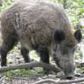 돼지에 대한 오해와 편견