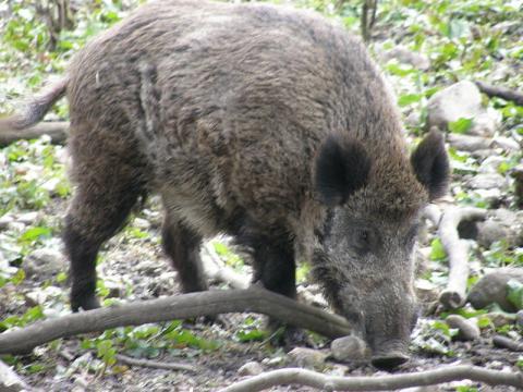 가축인 돼지와 종(種)이 동일한 멧돼지 ⓒ  GNU Free Documentation License