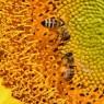 꿀벌의 수학실력에 숨은 비밀