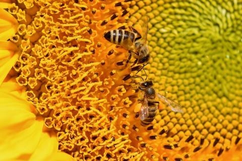 단순하고 보잘것없는 크기의 뇌를 가진 꿀벌도 0을 이해하고 계산을 할 수 있는 것으로 밝혀졌다. ⓒ Public Domain