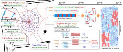 둥근 거미줄과 구조 모듈 및 거미줄의 구조.  Credit: Wikimedia Commons / Yue Zhao