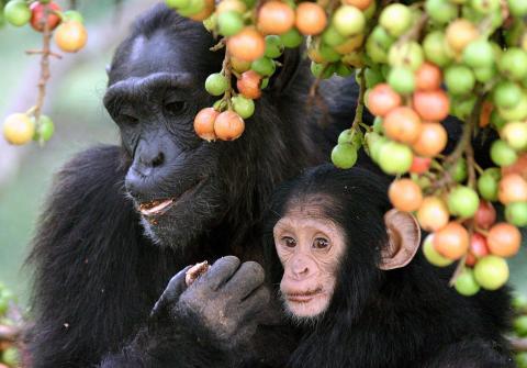 아프리카 우간다 키발레 국립공원에 서식하고 있는 침팬지 가족. 과학자들이 최근 이들  ⓒWikipedia