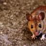 줄기세포로 나이든 쥐의 뇌를 젊게 만들었다.