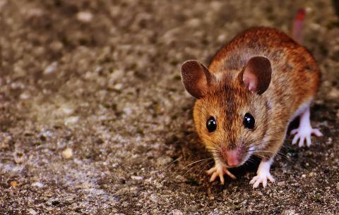 줄기세포로 나이든 쥐의 뇌를 젊게 만들었다. ⓒPixabay