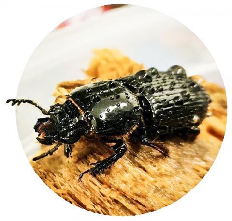 파살리드 딱정벌레는 통나무 터널 집을 지키고 새끼들을 보살피기 위해 가족단위로 함께 일한다. 버클리 랩의 새로운 연구에 따르면 딱정벌레의 구분된 장내 미생물군은 또한 새끼들의 생존에도 도움이 되는 것으로 밝혀졌다.  CREDIT: Javier Ceja-Navarro/Berkeley Lab