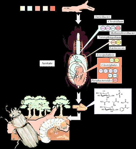 파살리드 딱정벌레의 구획화된 장과 대사과정의 배분 및 구획별 미생물 구성. 중간 장(MG)에서 식물 고분자가 단순한 성분으로 바뀐 다음 앞쪽 후장(AHG)에서 발효된다. 이어 질소가 고정되고 메탄과 수소가 생산된다. 식물 바이오매스 변형은 뒤쪽 후장(AHG)에서도 계속돼 영양분 및 아세테이트와 에탄올, 벤조에이트 같은 대사물이 풍부한 똥(frass)로 배출된다.