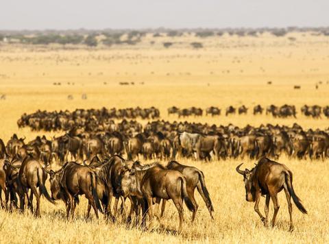탄자니아 세렝게티 국립공원 지역에서 수많은 누 떼가 이동하고 있는 모습.  CREDIT: James Probert, University of Liverpool
