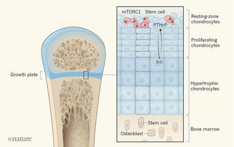왼쪽은 성장기 뼈의 일부로 뼈끝과 뼈몸통 사이의 파란 부분이 성장판(growth plate)이다. 오른쪽은 성장판을 확대해 도식화한 그림으로 세 가지 연골세포가 층을 이루고 있다. 맨 위 둥근 연골세포층(resting-zone chondrocytes)에 줄기세포(빨간색)가 존재한다. 그리고 둥근 연골세포와 비대 연골세포 사이에 신호(Ihh와 PTHrP)를 주고받으며 연골세포의 증식을 촉진한다. ⓒ 네이처