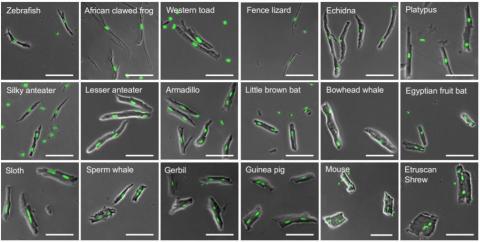 동물 18종의 심근세포 현미경 이미지로 녹색 점이 핵이다. 변온 동물(위 왼쪽부터 네 개)은 세포당 이배체(2n)인 핵이 하나인 반면 정온 동물은 체온이 올라갈수록 핵이 두 개이거나 사배체(4n. 녹색 점이 크다)인 핵이 있는 심근세포의 비율이 높아진다(아래) ⓒ 사이언스
