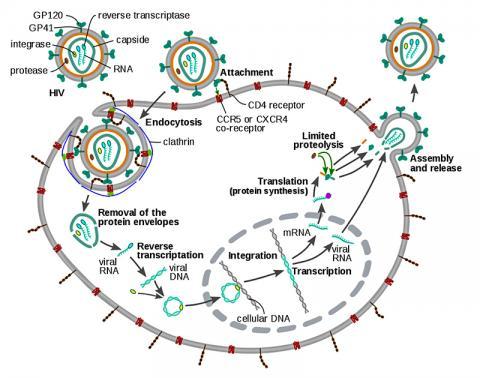 HIV 바이러스의 복제 사이클 일러스트.  ⓒ Wikimedia Commons