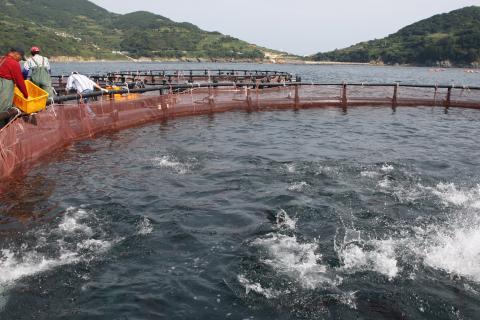 양식 생산량이 급증함에 따라 새로운 물고기 사료를 개발하려는 연구가 활발히 진행되고 있다. 사진은 국내의 참다랑어 해상 가두리 양식장에서 먹이를 주고 있는 모습. ⓒ 연합뉴스