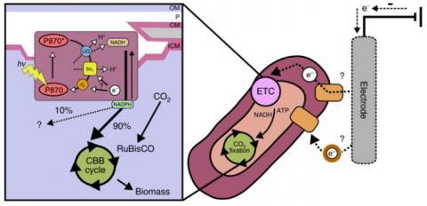 박테리아가 전자를 흡수하여 이산화탄소를 제거하는 기전 ⓒ Nature