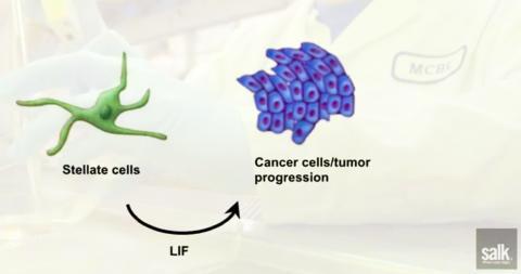 성상세포에서 분비된 LIF가 종양세포를 자극하는 것을 나타내는 그림. 동영상 캡처. CREDIT: Salk Institute