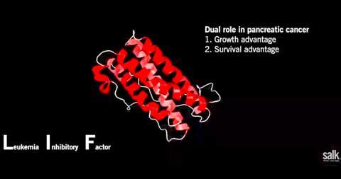 활성화된 췌장 성상세포가 백혈병억제인자(LIF)로 불리는 신호 단백질을 분비해 종양세포를 자극함으로써 암 발생과 진행을 유도하는 것으로 밝혀졌다.   CREDIT: Salk Institute