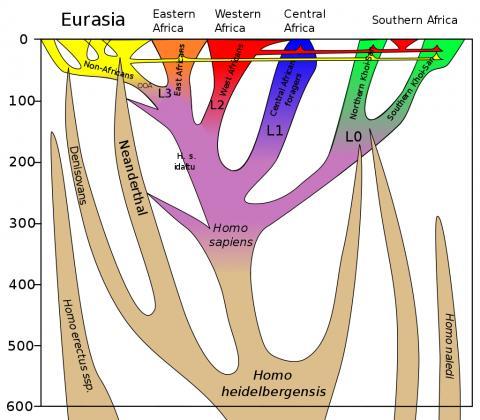 지난 60만년 동안의 호모사피엔스 계통 발생도(수직축). 수평축은 지리적 위치.   ⓒ Wikimedia / Dbachmann