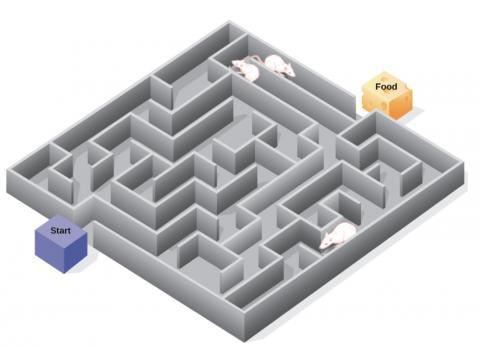 쥐의 기억력을 테스트하기 위해 설치한 미로. 먹이가 있는 장소에 더 많은 음식 알갱이를 놓았ⓒ