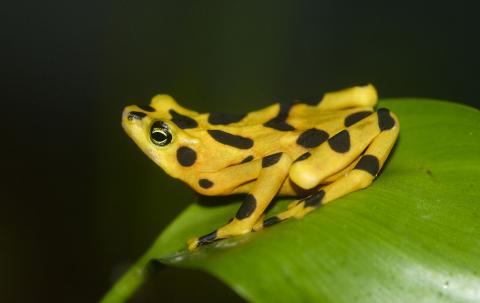 파나마에 서식하는 황금 개구리. 1970~1990년대 성행했던 양서류 교역으로 인해  ⓒWikipedia