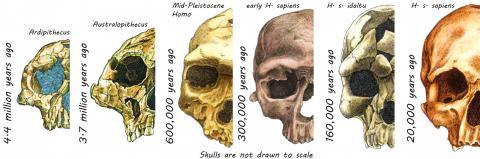 지난 440만년 동안 인간족(hominins) 두개골이 변화돼 온 모습.  CREDIT: Rodrigo Lacruz